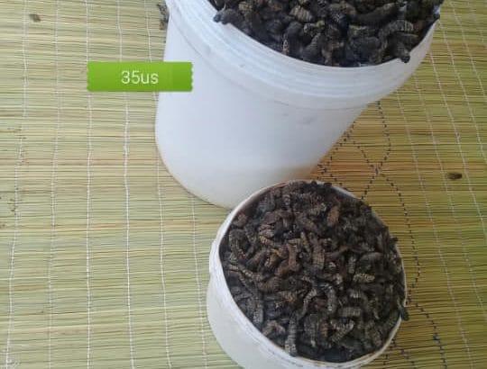 Madora (Mopane Worms)