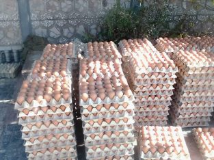 Eggs Wholesale