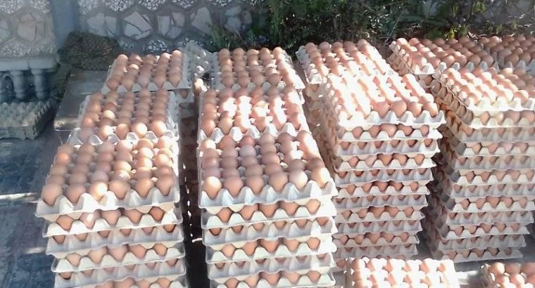 Eggs Wholesale