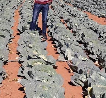 Cabbages for sale